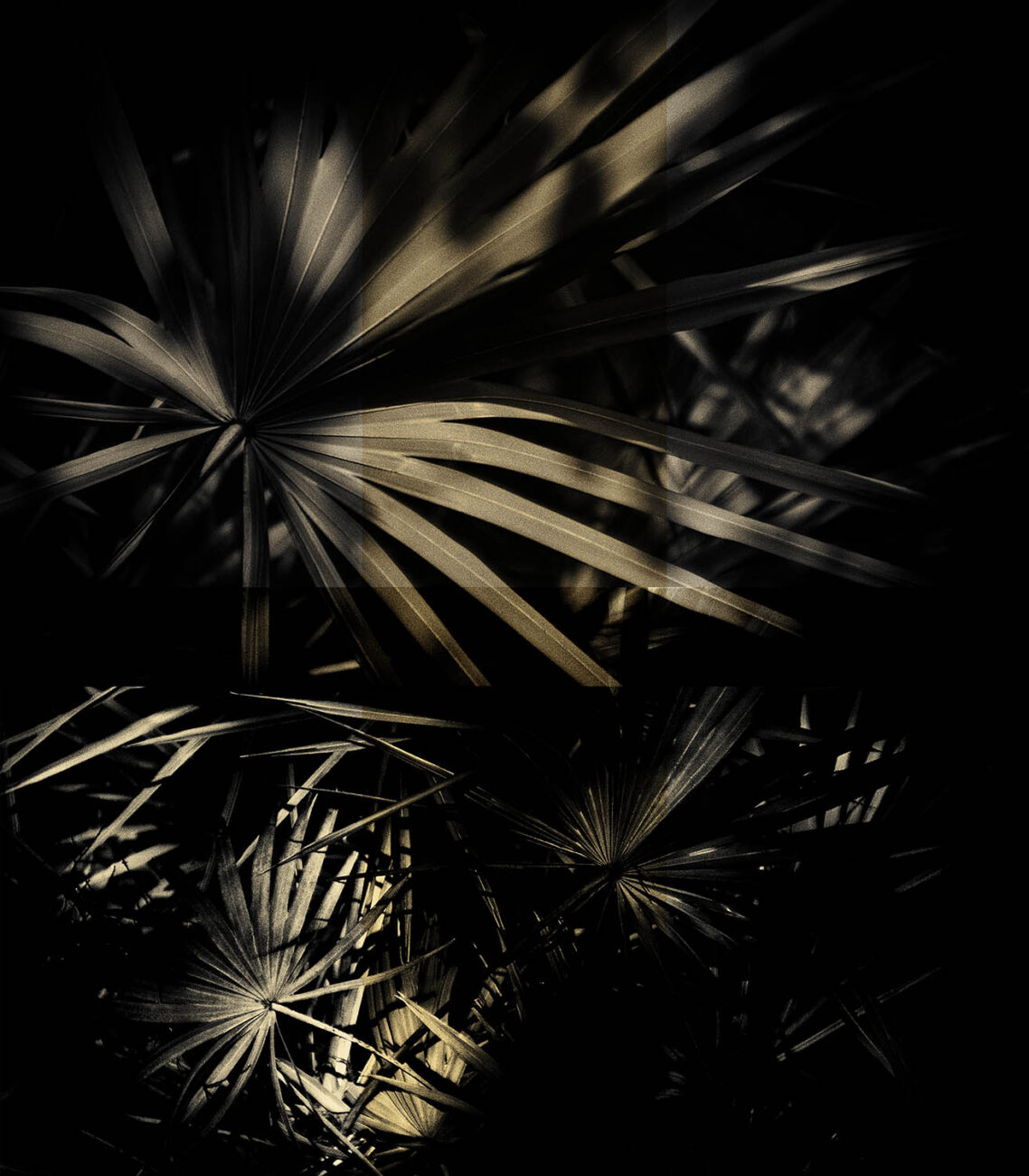 Sabel palm leaves in deep shadow