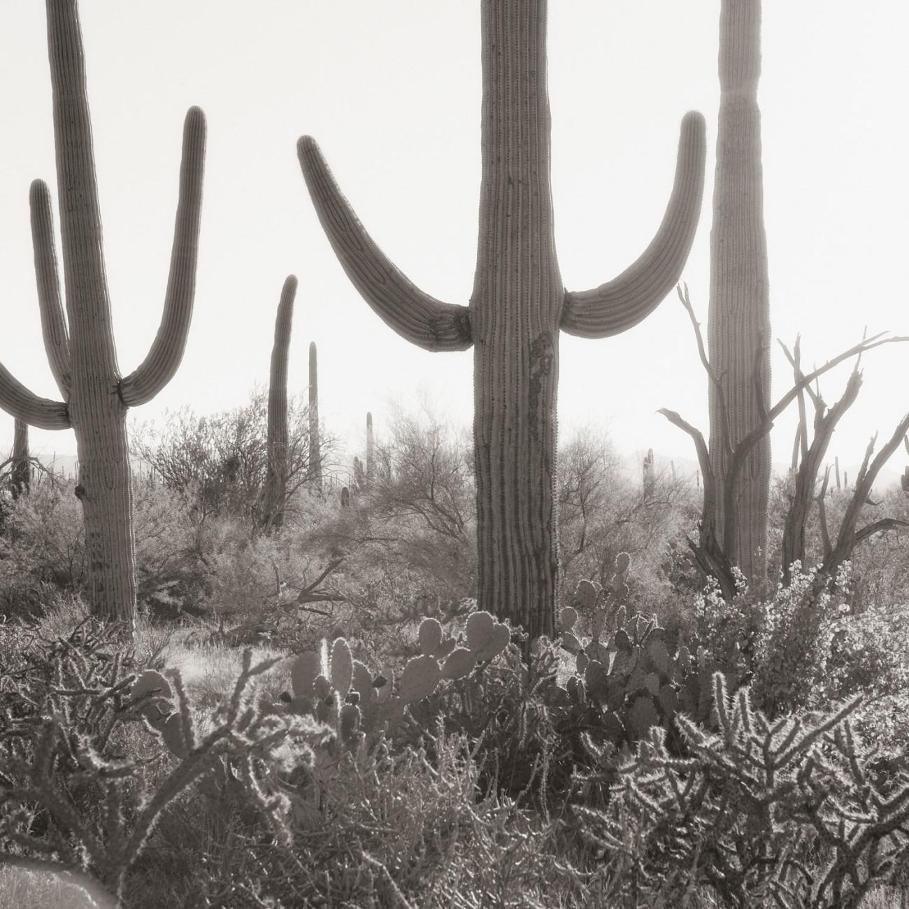 Saguaro cacti (study 2), Arizona, 2008