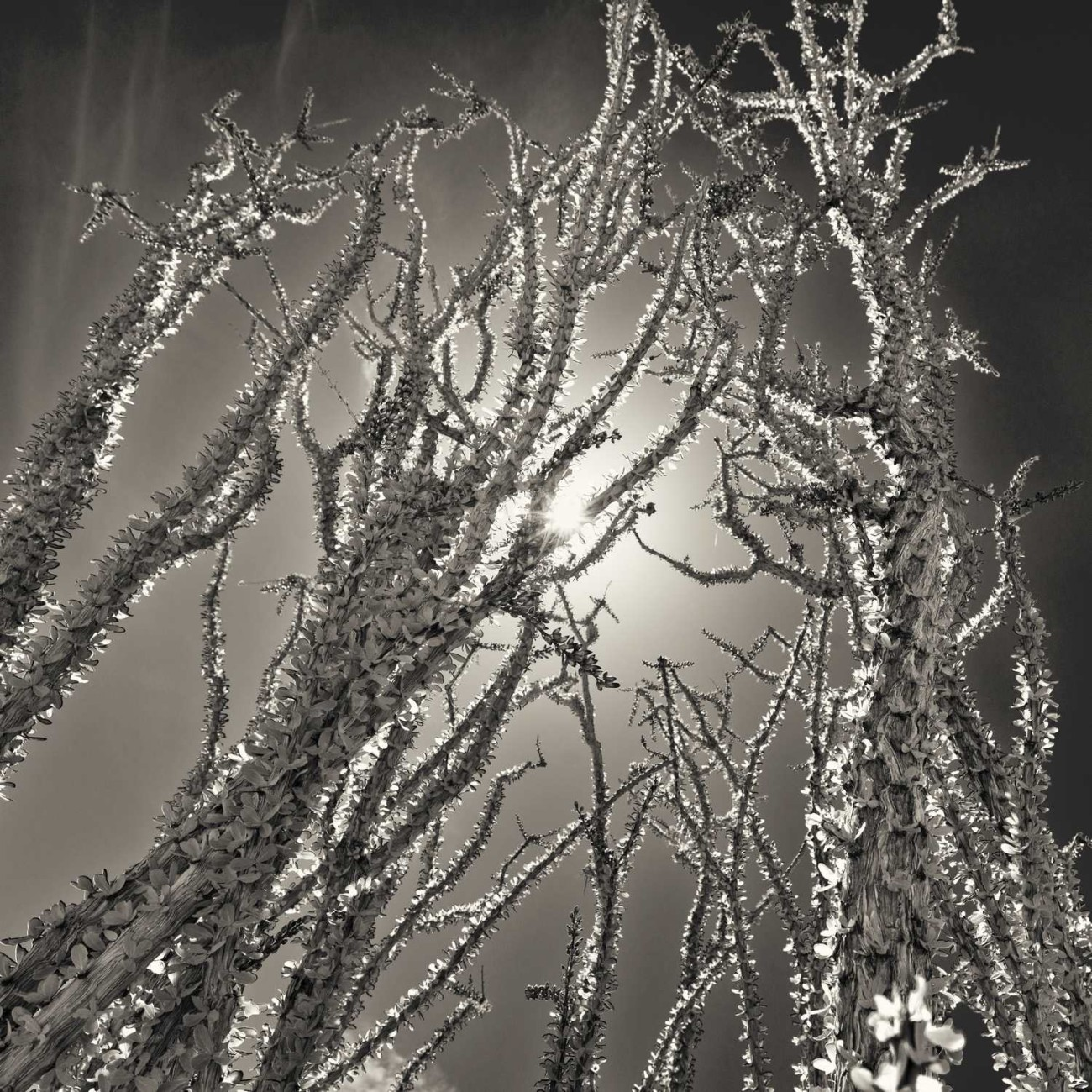 Ocotillo cactus and sun, Joshua Tree NP, CA, 2012