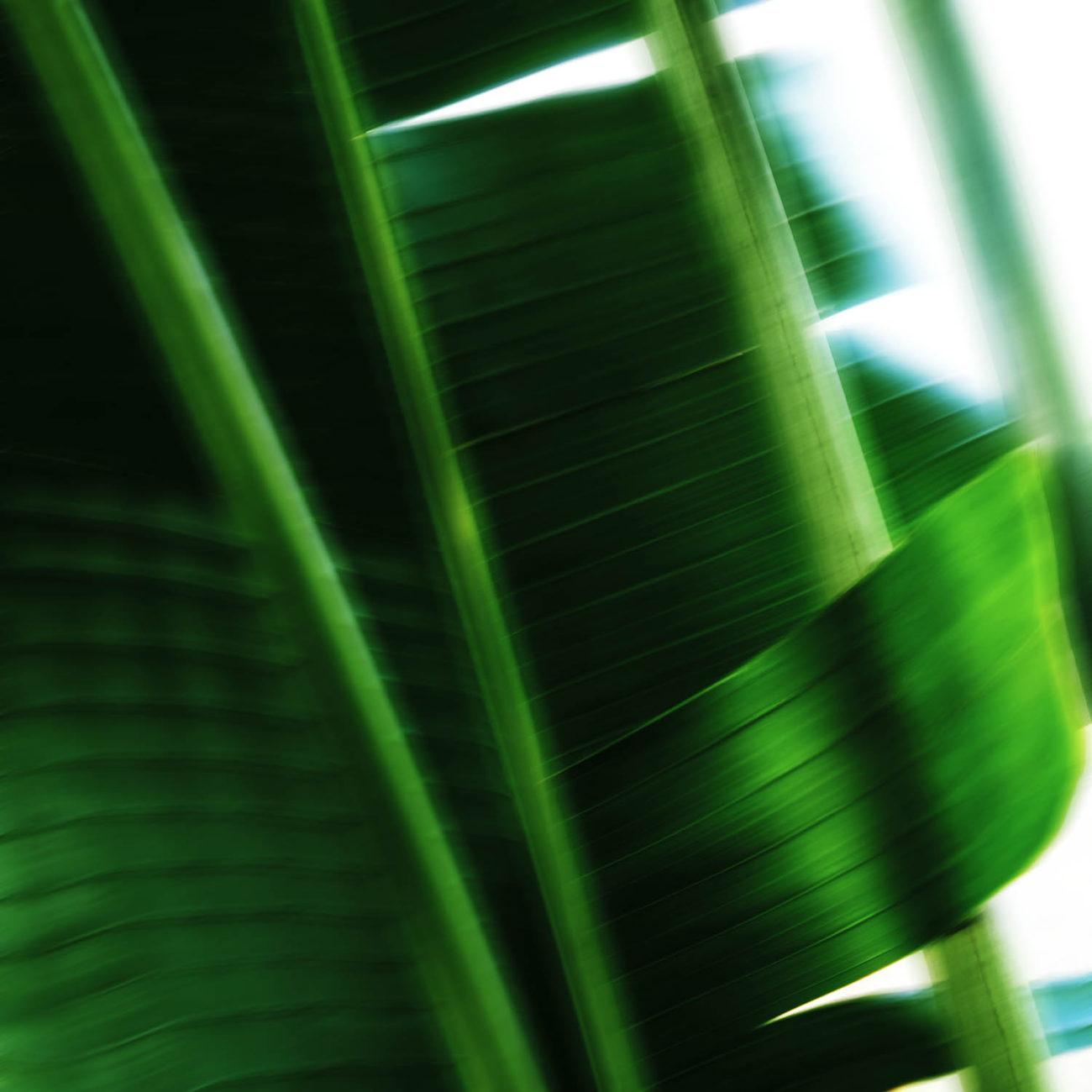 Banana leaf study