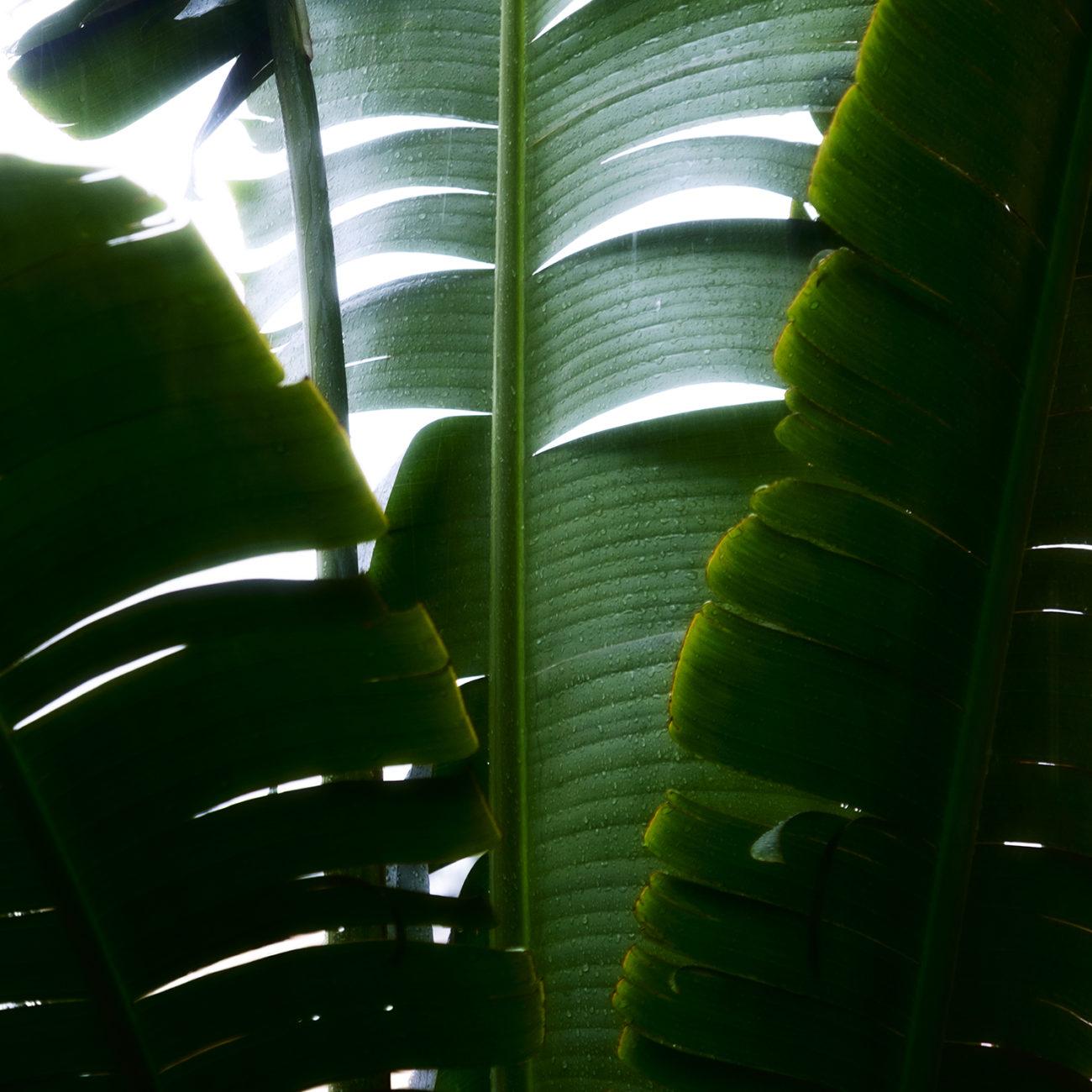 Banana palm leave in rain, Florida, 2017