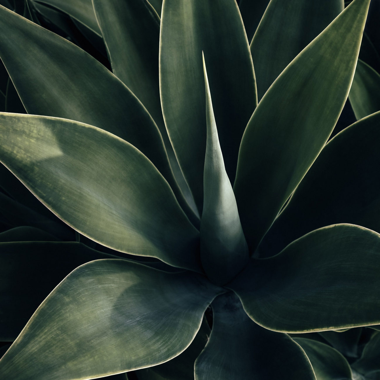 Agave, Los Angeles, 2016