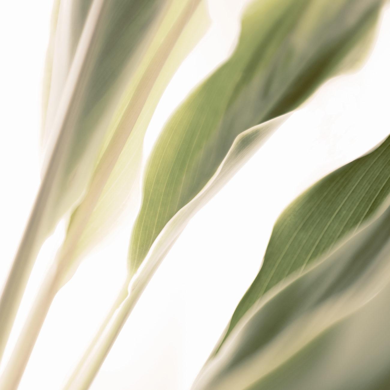 Banana leaves, study II, 2015