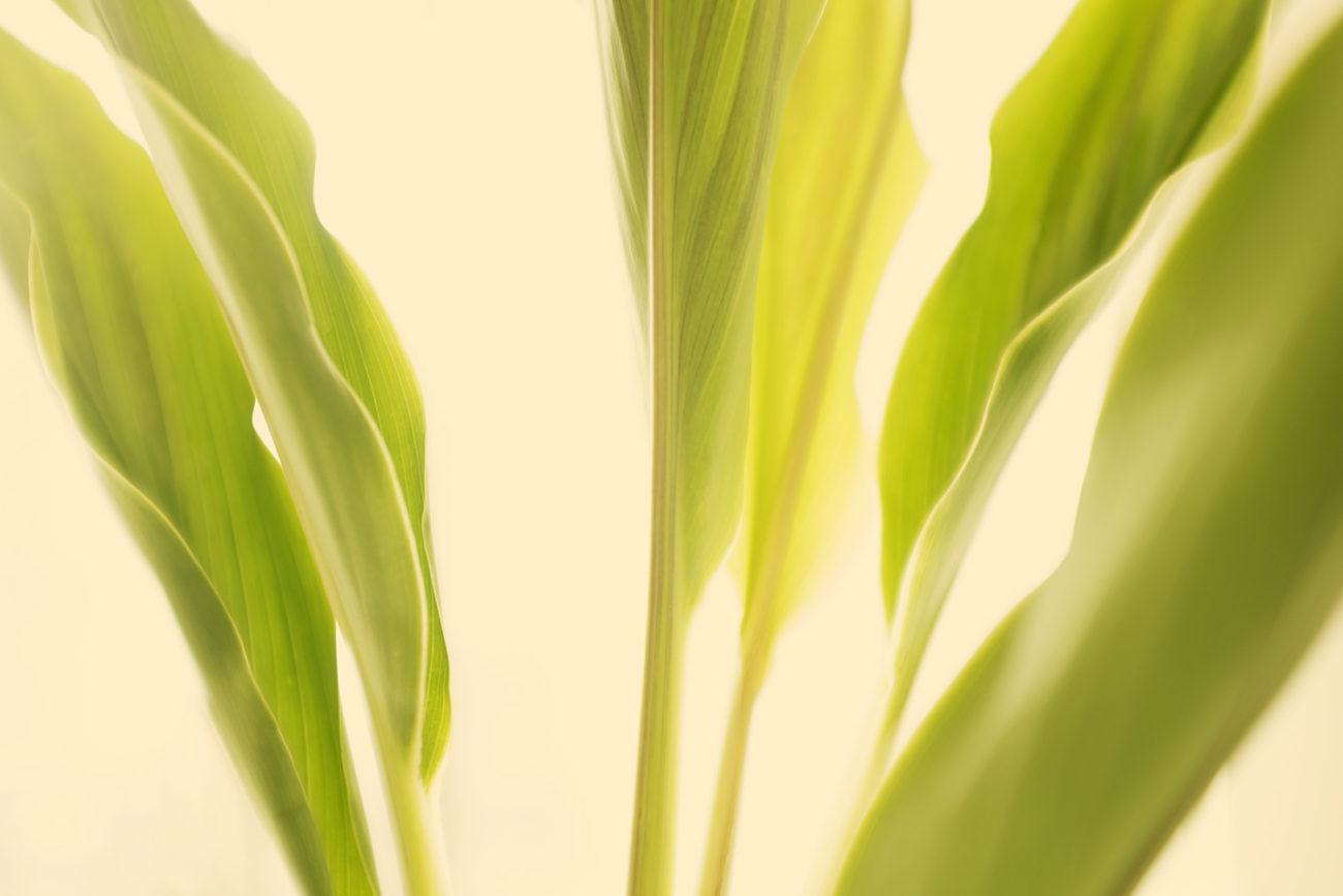 Banana leaves, study I, 2015