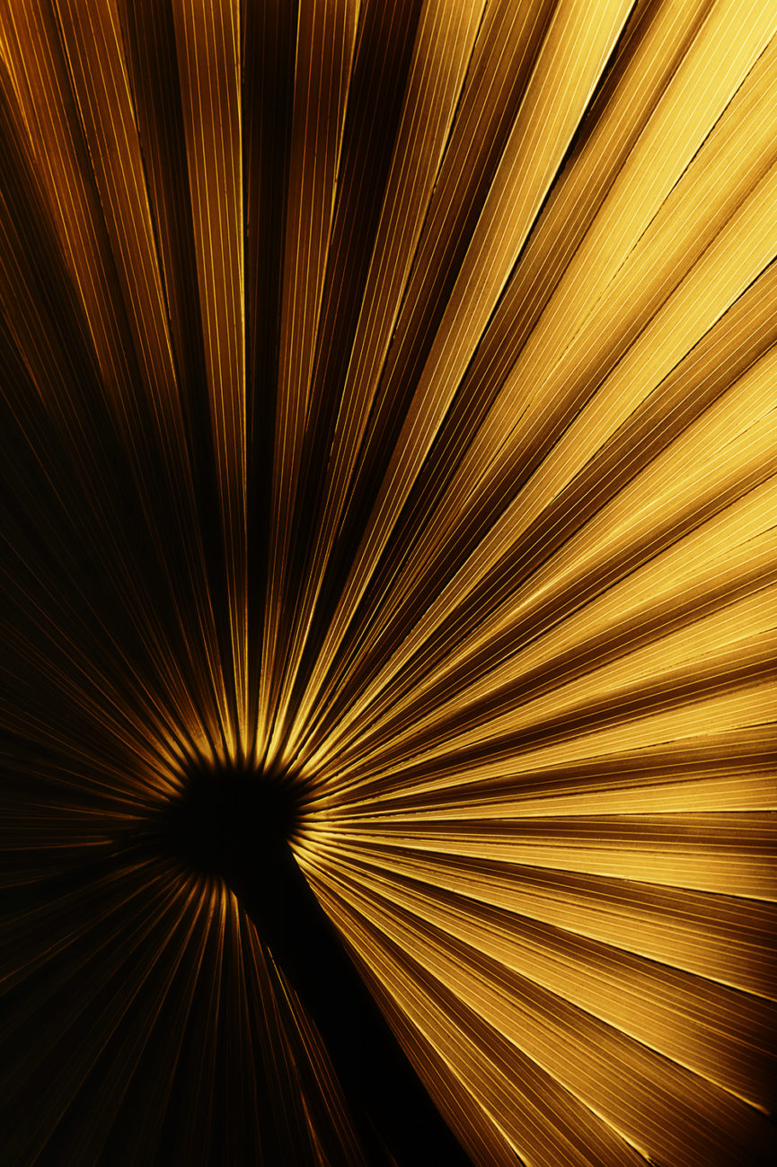 Anahaw palm leaf in gold light