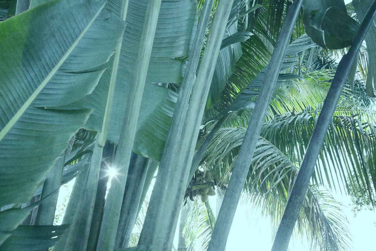 Banana leaf stalks and coconut palm, 2019